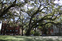 Savannah Oak Tree